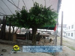 Artificial banyan tree artificial ficus tree PE leaves DWT007